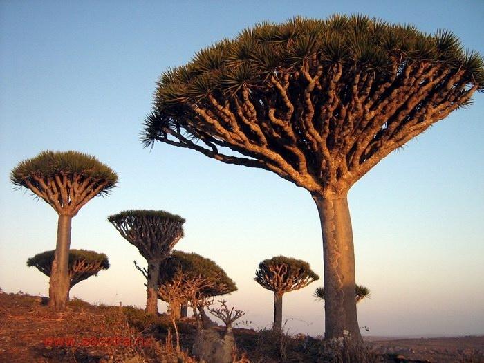 Самые интересные представители флоры нашей планеты Socotra-064