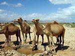Верблюды на Сокотре