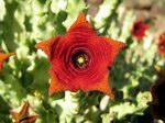 Цветы Сокотры