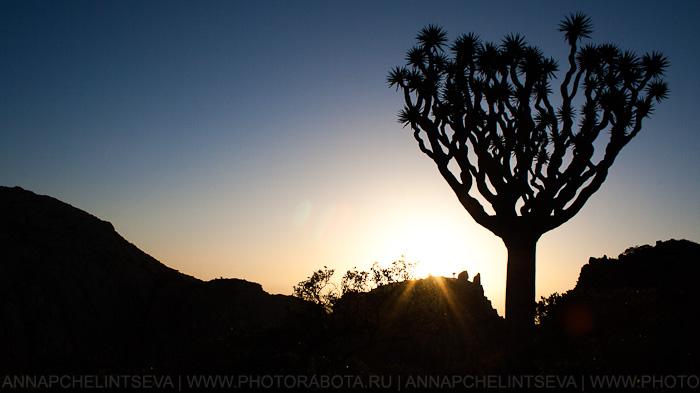 Драконовое дерево остров Сокотра