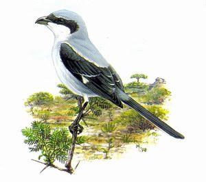 Серый сорокопут сокотранский (Lanius meridionalis)