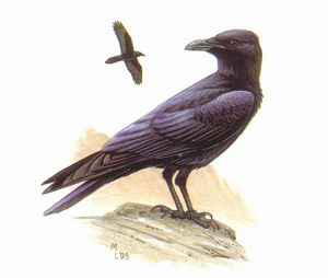 Коричневогрудый ворон (Corvus ruficollis)
