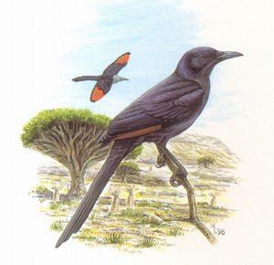 Скворец сомалийский (Onychognathus blythii)