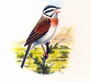 Овсянка сокотранская (Emberiza socotrana)