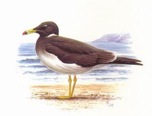 Аденская чайка (Lams hemprichii)