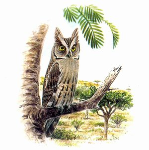 Совка африканская (Otus senegalensis/sunia)