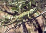 Рептилии - эндэмики
