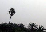 Пальма-крест на Сокотре
