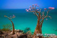 Бутылочные деревья на  острове Сокотра