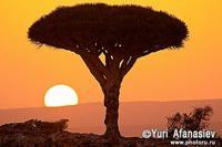 Драковое  дерево на острове  Сокотра